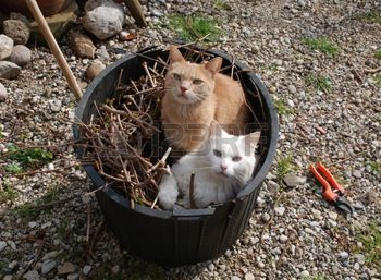 27516011-two-young-tom-cats-helping-a-gardener-by-sitting-in-a-gardening-tub-of-twigs
